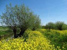 在油菜籽植物之间的杨柳 免版税图库摄影