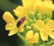 在油菜籽花的红色飞行 免版税图库摄影