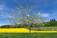 在油菜籽领域前面的开花的苹果树 免版税图库摄影