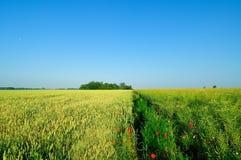 在油菜籽领域旁边的大麦领域 免版税库存照片
