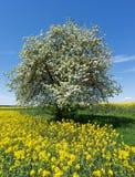 在油菜籽领域的开花的果树 库存图片