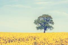 在油菜籽领域的树 免版税库存图片