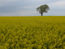 在油菜籽领域的树 免版税库存照片