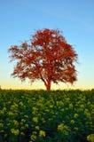 在油菜籽领域的秋天树 免版税图库摄影