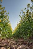 在油菜籽领域的透视的下低落 库存图片