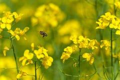 在油菜籽领域的飞行蜂 宏指令 免版税库存照片