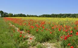 在油菜籽领域的鸦片 免版税库存照片