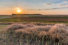 在油菜领域一刈幅的草的日落在收获 免版税库存照片