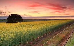 在油菜领域的日出 图库摄影