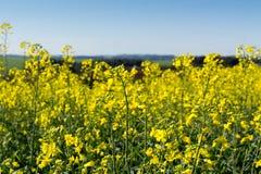 在油菜领域的黄色花 免版税库存图片
