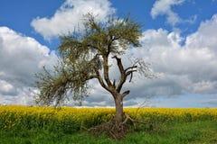 在油菜领域的年龄腐烂的树 库存图片
