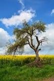 在油菜领域的年龄腐烂的树 免版税图库摄影
