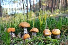 在沼地的森林蘑菇 库存照片