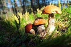 在沼地的森林蘑菇 免版税库存照片