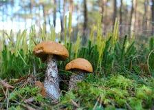在沼地的森林蘑菇 图库摄影