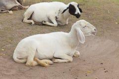 在沼地的羊羔 免版税库存照片