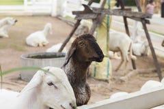 在沼地的羊羔 库存照片