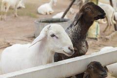 在沼地的羊羔 免版税库存图片