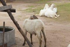 在沼地的羊羔 免版税图库摄影