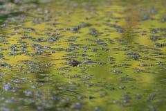在沼泽中的池蛙 图库摄影