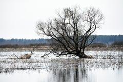 在沼泽中间使干燥老树环境美化在水中 免版税图库摄影