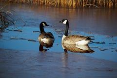 在沼泽地储备的两只加拿大鹅 库存照片