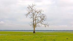 在沼泽地沼泽的孤立树 免版税库存图片
