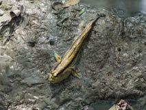 在沼泽地泥泞的地面的一巨大的mudskipper 免版税图库摄影