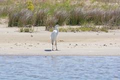 在沼泽地海滩的伟大的白鹭 免版税图库摄影