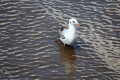 在沼泽地的一只海鸥 图库摄影