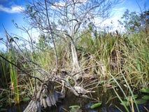 在沼泽地的一棵小树在佛罗里达 免版税库存照片
