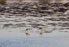 在沼泽地的水鸟日落的 免版税库存照片