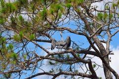 在沼泽地的蓝色苍鹭在佛罗里达 免版税库存照片