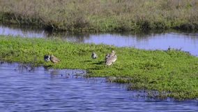 在沼泽地的鸟 股票视频