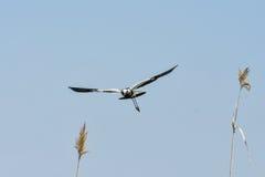 在沼泽地的Blsckwinged珩科鸟 库存图片