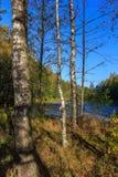 在沼泽地附近的Birch湖 库存图片
