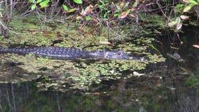 在沼泽地,佛罗里达的沼泽的鳄鱼游泳 股票录像