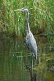 在沼泽地Nationa lPark的伟大蓝色的苍鹭的巢 免版税库存图片