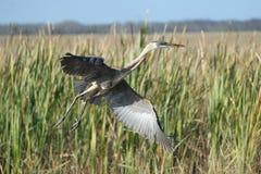 在沼泽地Nationa lPark的极大的空白白鹭 库存照片
