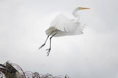 在沼泽地Nationa lPark的极大的空白白鹭 免版税库存照片