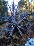 在沼泽增长一棵老树的根 免版税库存照片