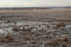 在沼泽尝试的飞行的Gooses 免版税库存照片