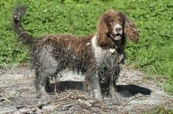 在沼泽游泳然后完成神色的一条淘气英国斯伯林格西班牙猎狗狗在老篝火滚动了 库存照片