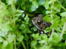 在沼泽的一只蟾蜍 免版税库存照片