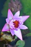 在沼泽的一朵紫罗兰色莲花 免版税库存照片