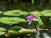 在沼泽的一朵莲花 图库摄影