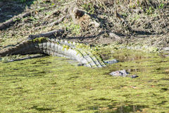 在沼泽的一条鳄鱼 免版税库存照片
