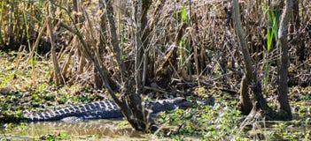 在沼泽的一条鳄鱼 免版税库存图片