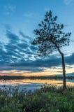 在沼泽的一棵小杉树 免版税库存照片