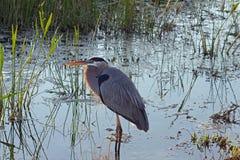 在沼泽的伟大蓝色的苍鹭的巢 免版税图库摄影